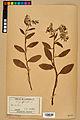 Neuchâtel Herbarium - Borago officinalis - NEU000020582.jpg