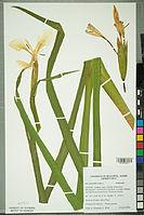 Neuchâtel Herbarium - Iris pseudacorus - NEU000099514.jpg