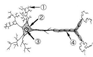 Line art drawing of a Neuron 1. Dendrites 2. C...