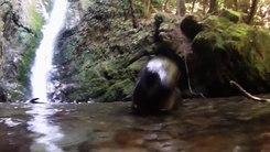 Податотека:New Zealand fur seal pups (Arctocephalus forsteri).webm