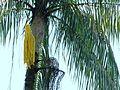 Nibong Palm (Oncosperma tigillarium) (8444068007).jpg