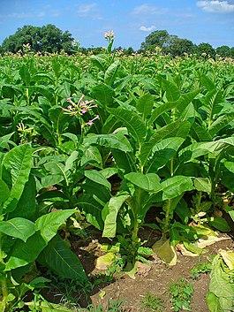 фото табак растение