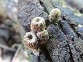 Nidulariaceae Dumort 543001.jpg