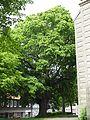 Niedersachsen, Goslar, Breite Straße, ND-GS 36, Kirchenlinde von Sankt Stephani.jpg