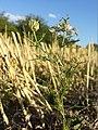 Nigella arvensis sl44.jpg