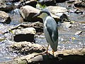 Night Heron (4203392048).jpg