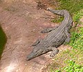 Nile-Crocodile-Safari2011RG0198.jpg