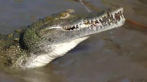 File:Nile Crocodile (Crocodylus niloticus) swallowing a Tilapia.webm