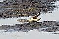 Nile crocodile in Chobe National Park 01.jpg