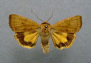 Noctua (moth) - Image: Noctua interjecta