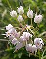 Nodding Onion (Allium cernuum) at Waterton Lakes National Park - Flickr - Jay Sturner.jpg