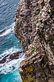 Northern Gannets St Mary Cape Newfoundland (41321331572).jpg