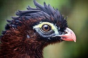Nocturnal curassow - Image: Nothocrax urumutum head zoo 8a