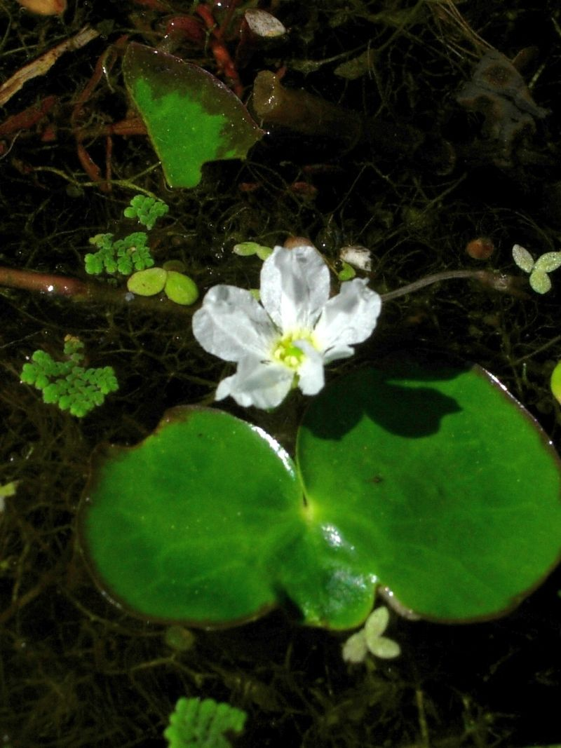 [Image: 800px-Nymphoides_hydrophylla_Myanmar.jpg]