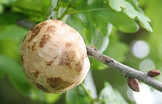 Oak apple - An oak apple on a tree in Worcestershire, England