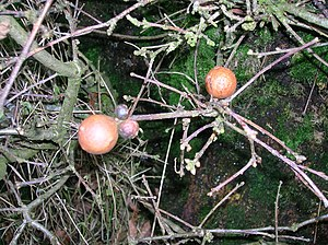 Andricus kollari - Oak marble galls showing two stunted and two normal-sized examples