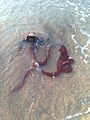 Octopus refreshing its suction cups on the beach of Shikaka Seaside Resort.jpg