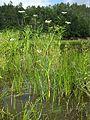 Oenanthe aquatica sl14.jpg
