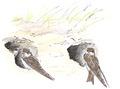 Oeverzwaluw Riparia riparia Jos Zwarts 2.tif