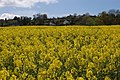 Oil seed rape field near Linton - geograph.org.uk - 784723.jpg