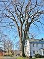 Old Deerfield, MA American Elm - December 2011.jpg