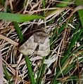 Oligia sp. - Flickr - gailhampshire.jpg