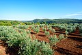 Olive grove (28920833015).jpg