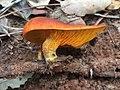 Omphalotus olearius 56212970.jpg
