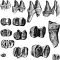 On the Fossil Mammals of Australia. Part III. Diprotodon australis, Owen (1870) (14760719411).jpg