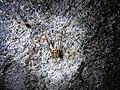 Opilião em caverna da Reserva de Desenvolvimento Sustentável da Barra do Una por Jani Pereira 06.jpg