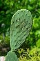 Opuntia ficus-indica in Jardin botanique de la Charme 01.jpg