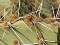 Opuntia phaeacantha 14.jpg