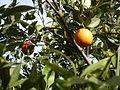 Orange Tree 1.JPG