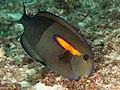Orangeband surgeonfish (Acanthurus olivaceus) (33903654188).jpg