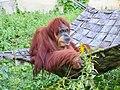 Orangutan in Higashiyama Zoo - 1.jpg