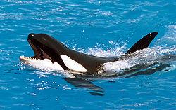 Orca-800.jpg