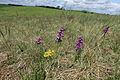 Orchideen-Wiese IMG 7513.JPG