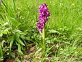 Orchis mascula 19.jpg