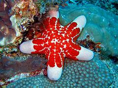 étoile De Mer Wikipédia