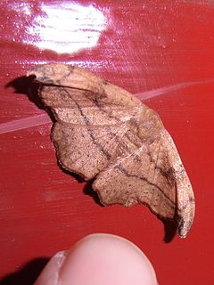 <i>Oreta turpis</i> Species of hook-tip moth