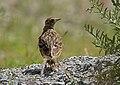Oriental Skylark (Alauda gulgula) (16909306510).jpg