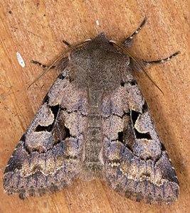 Orthosia gothica 01(js) Lodz (Poland).jpg