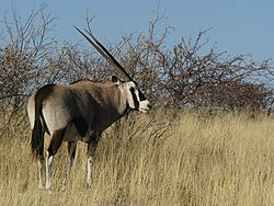meaning of gemsbok