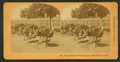 Ostrich farm, Midway Plaisance, Columbian Exposition, by Kilburn, B. W. (Benjamin West), 1827-1909.png