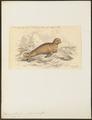 Otaria jubata - 1700-1880 - Print - Iconographia Zoologica - Special Collections University of Amsterdam - UBA01 IZ21100027.tif