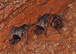 Critically endangered Wroughton's Free-tailed Bat near Bhimagad Wildlife Sanctuary