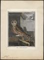 Otus brachyotus - 1700-1880 - Print - Iconographia Zoologica - Special Collections University of Amsterdam - UBA01 IZ18400205.tif