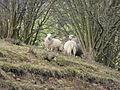 Ouessant Sheep weiß 2012.JPG