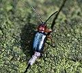 Oulema sp. - a leaf beetle - Flickr - S. Rae.jpg
