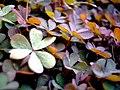Oxalis corniculata f rubrifolia.jpg